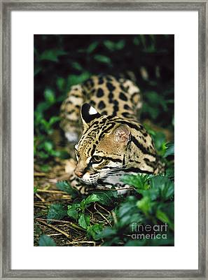 Ocelot Leopardus Pardalis Framed Print by David Davis