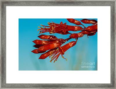 Ocotillo Flowers Framed Print by Robert Bales
