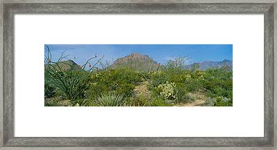 Ocotillo Plants In A Park, Big Bend Framed Print by Panoramic Images