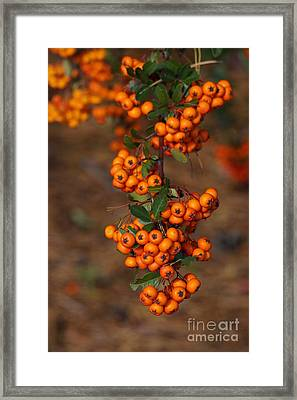October Berries Framed Print