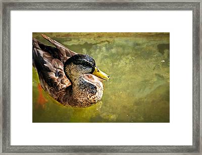 October Duck Framed Print