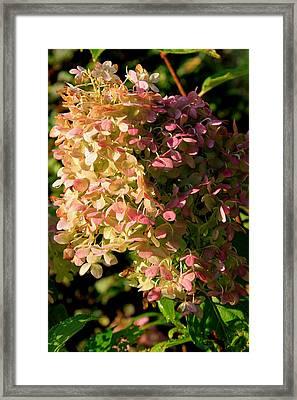October Hydrangea Framed Print
