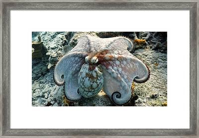 Octopus Posing Framed Print