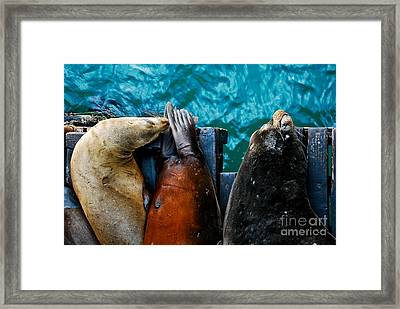 Odd Man Out California Sea Lions Framed Print