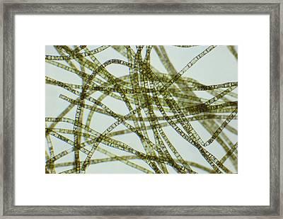 Oedogonium Sp. Green Algae Lm Framed Print