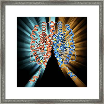 Oestrogen Receptor And Oestradiol Framed Print by Laguna Design