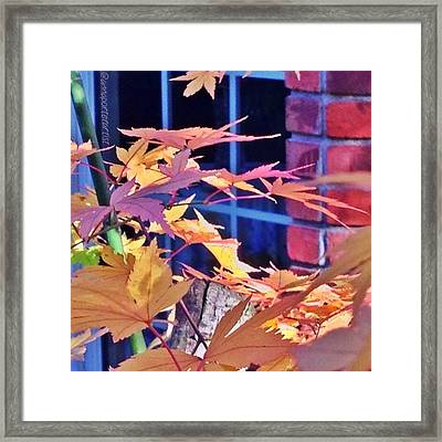 Of Maples And Bricks Framed Print