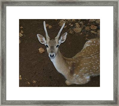 Oh Deer Framed Print by Noreen HaCohen