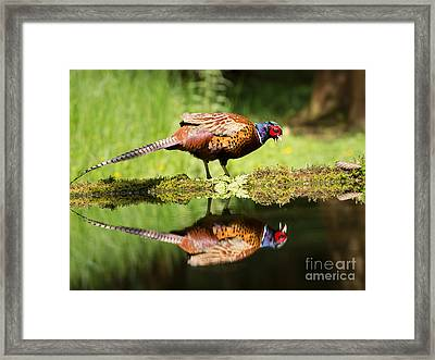 Oh My What A Handsome Pheasant Framed Print by Louise Heusinkveld