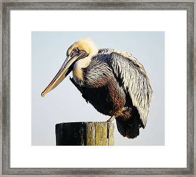 Oh So Pretty Pelican Framed Print by Paulette Thomas