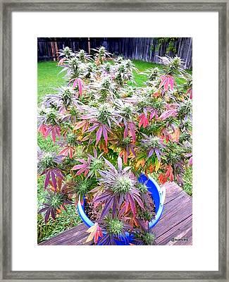 Oh Xmas Tree.......... Framed Print by Sue Rosen