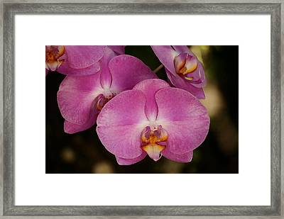 Oil Painted Orchids Framed Print