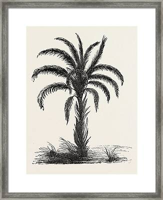 Oil-palm Eloeis Guineensis. Elaeis Is A Genus Of Palms Framed Print by Litz Collection