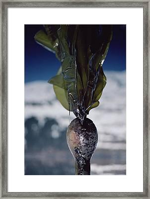 Oiled Kelp From Exxon Valdez Spill Framed Print