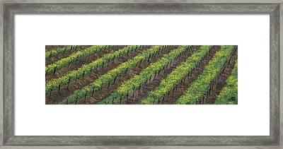 Oilseed Rape With Grape Vines Framed Print