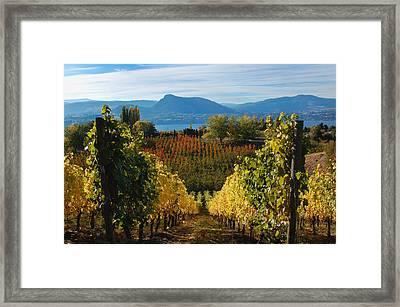 Okanagan Gold Framed Print by Ken McAllister