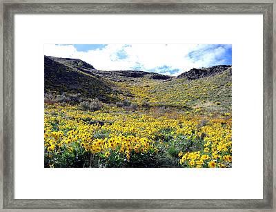 Okanagan Valley Sunflowers 1 Framed Print