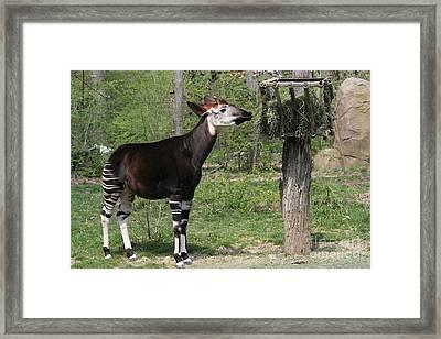 Okapi Framed Print