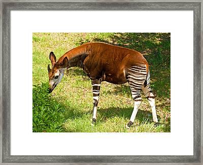 Okapi Framed Print by Millard H. Sharp