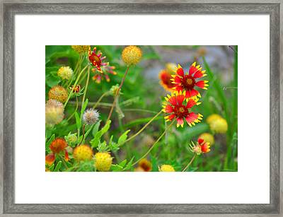 Oklahoma Wildflowers Framed Print