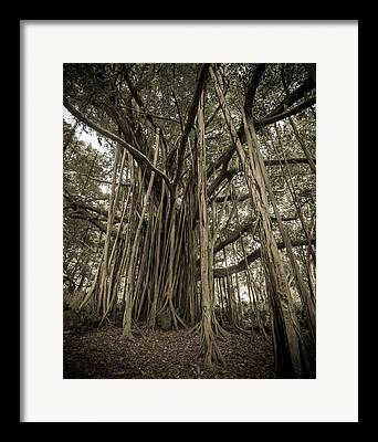 Banyan Tree Framed Prints