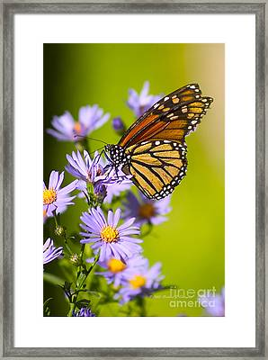 Old Butterfly On Aster Flower Framed Print