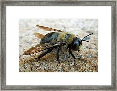 Old Carpenter Bee Framed Print by Pete Trenholm