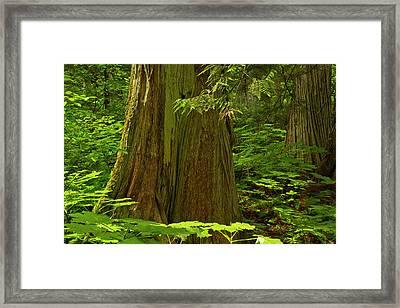 Old Cedars, Hemlock Grove, Glacier Framed Print by Michel Hersen