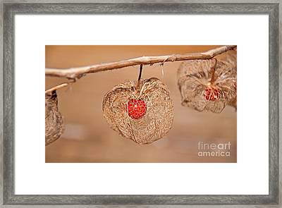 Old Chinese Lantern Pod Art Prints Framed Print
