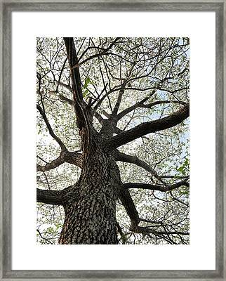 Old Dogwood Tree Framed Print by Giffin Photography