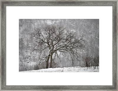 Old Elm Framed Print by Joshua McCullough
