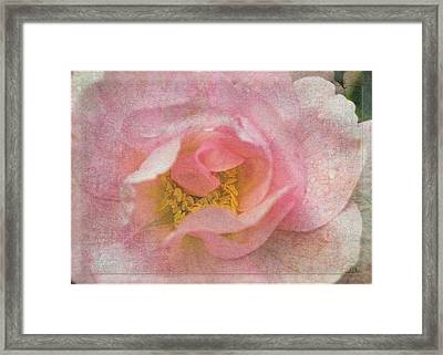 Old English Rose Framed Print by Liz  Alderdice