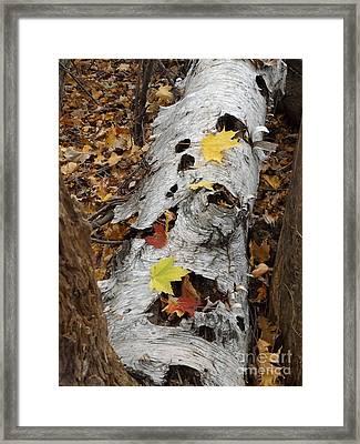 Old Fallen Birch Framed Print by Erick Schmidt