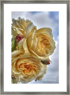 Old Fashion Roses Framed Print