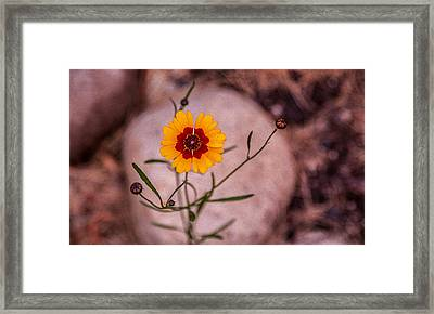 Old Fashioned Flower Framed Print by Omaste Witkowski