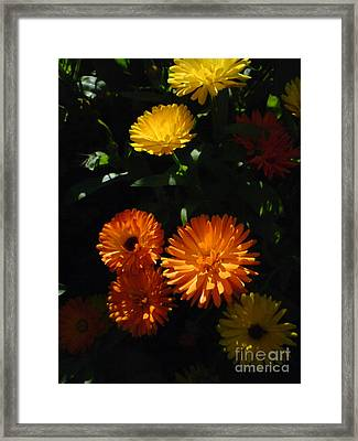 Old-fashioned Marigolds Framed Print by Martin Howard