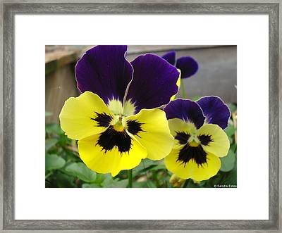 Old-fashioned Pansies Framed Print