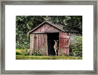 Old Gray Mare Framed Print by Debbie Green
