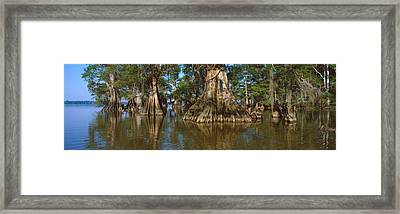 Old-growth Cypresses At Lake Fausse Framed Print by Panoramic Images
