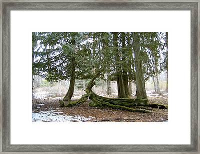 Old Growth Forest Trees Framed Print by Mavis Reid Nugent