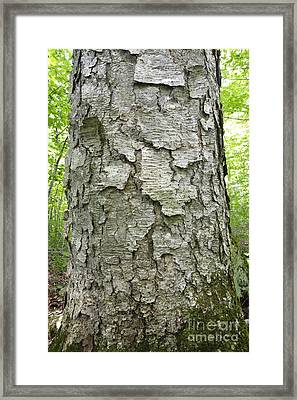 Old Growth Yellow Birch - Harts Location New Hampshire  Framed Print by Erin Paul Donovan