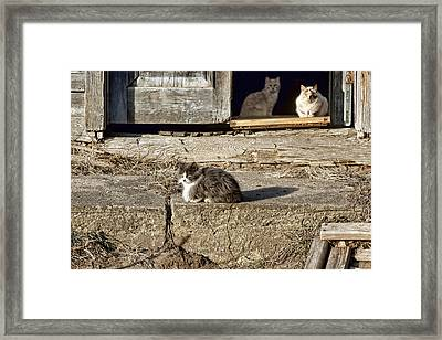 Old Knox Church Cats #2 Framed Print by Nikolyn McDonald