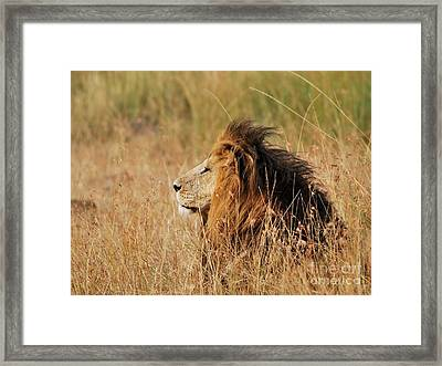 Old Lion With A Black Mane Framed Print by Alan Clifford