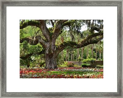 Old Oak And Calladium Garden Framed Print by Kathy Baccari