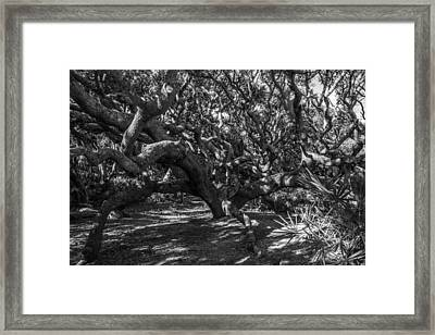 Old Oaks Framed Print