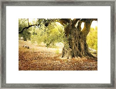Old Olive Tree Framed Print by Mythja  Photography