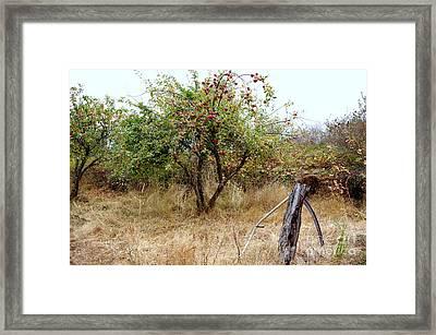 Old Orchard Framed Print by Erin Baxter