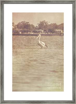 Old Pelican Photograph Framed Print