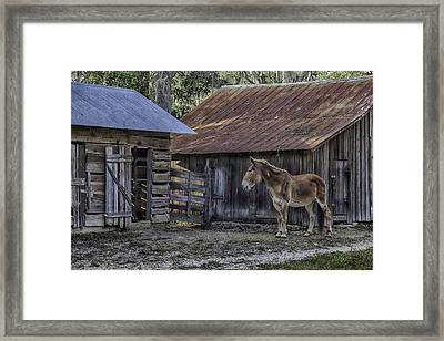 Old Red Mule Framed Print by Lynn Palmer