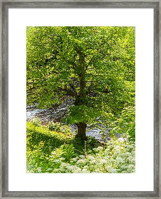 Old Small Leaved Lime At The Riverbank In Oravi Framed Print